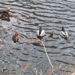 マガモと鴛鴦は同じグループで泳いでいる