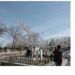 桜が満開 日本へ帰りたかっただろうな
