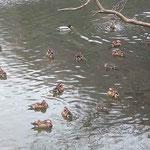 ブッシュに覆われた池端に群れている