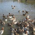 三島池の鴨