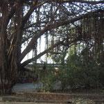 ガジュマル並木 大木
