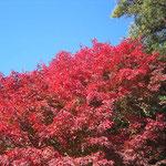 葛籠尾(つずらお)の燃え立つ紅葉