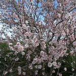 La Gomera Mandelblüte