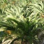 La Gomera Palmen