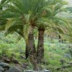 La Gomera Dattelpalmen