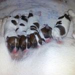 Предлагаются к продаже щенки родившись   31,03,2013