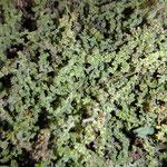 Brennesselsamen , nach dem trocknen fallen die kleinen schwarzen Samen aus ihren Hüllen, zu Mehl gemalen oder geröstet, eine kraftvolle Ergänzung
