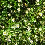 offene Werkstatt Gudwork, Gänseblumen