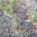 die Früchte fallen durch die Trockenheit halb reif von dem Baum, Kräuterworkshop