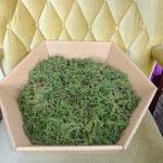 Brennessel Samen in der Trocknungsphase