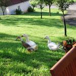 Nachbars Gänse bei uns auf Besuch