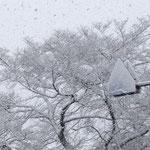 当店向かい側の桜の木も標識も雪でコーティング!!