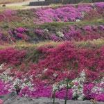 田んぼの畦一面に見事な芝桜
