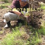 芋掘りのコツを教わる!!