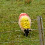 Les moutons sont décorés comme le drapeau belge: tête noire, corps jaune et rouge