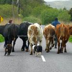 Des paysans poussant un maigre troupeau