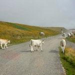 Après les chevaux: les vaches