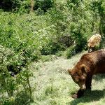 Les ours de Kuterevo