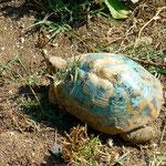 Les tortues sont peintes en bleu pour qu'on les repère facilement afin de ne pas rouler dessus.