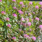 Les rhododendrons en fleurs forment des haies atteignant parfois plusieurs mètres de hauteur