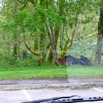 Les chevreuils disparaissent dans les bois