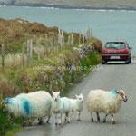 Les moutons divaguent sur la route