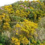 Genêts et rhododendrons sont en fleurs