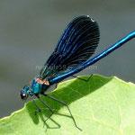 Parc de Krka, une belle libellule