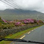 Les rhododendrons sont de plus en plus fleuris