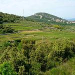 Les vignes sur la presqu'île de Pelješac