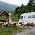 Des moutons viennent nous rendre visite