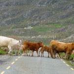 Un troupeau de vaches, non accompagné, traverse la route devant nous pour rejoindre des congénères dans la pâture.