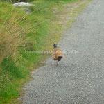 Un faisan s'enfuit à notre approche
