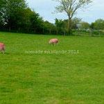 Les moutons roses...