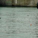 Des phoques nagent dans le port