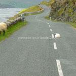 Encore des moutons sur la route