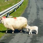 Une mère et son agneau nouveau-né portant encore le cordon ombilical