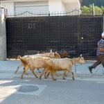 Bérat: en pleine ville ce paysan accompagne ses chèvres