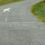 Cet agneau se dépêche de traverser pour retrouver sa mère