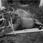 """Uganda Railways, il tenente colonnello John H. Patterson posa orgogliosamente con uno dei """"man-eaters"""" dello Tsavo che ha ucciso."""