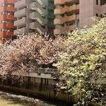 目黒川沿いのおまつり本舗は4月には桜満開で店先がこうなります