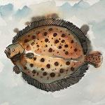 Plattfisch - Aquarell