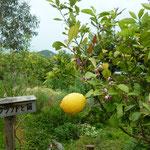 レモンの花とレモン 5月