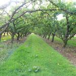 Verger de pommes clochard