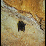 Grotta Costa di Prabello VI: pipistrello nano in letargo