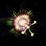 Passion Flower Blossom, 2005