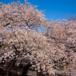 開港広場脇の大桜