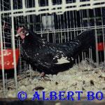 0,1 Zwerg-Krüper schwarz-weißgedobbelt