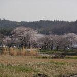 川沿いの桜。だいぶ咲いてきました。