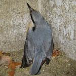 Kleiber beim Nestbau im Nistkasten. Er stellt sich gegenüber den NABU-Mitarbeitern sicherheitshalber tot. Die Rinde der Waldkiefer wird als Nistmaterial eingetragen. (Foto: Götz 2015)